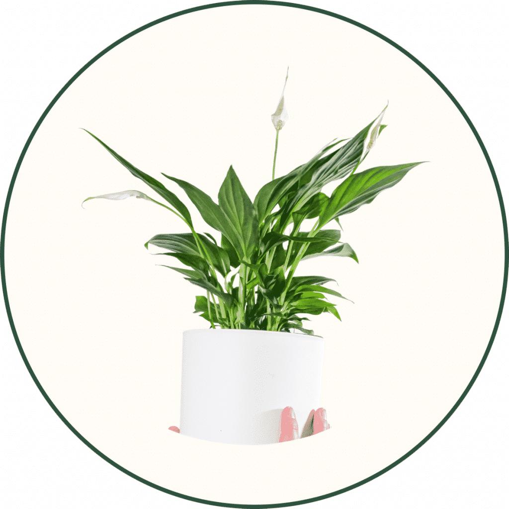 Plante purificateur d'air