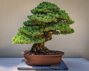 Bonsai arbre