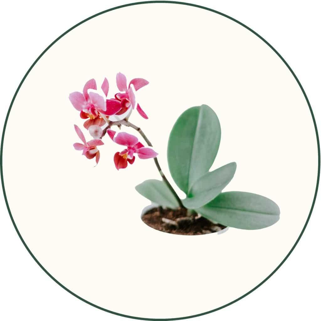 Plante intérieur fleurie