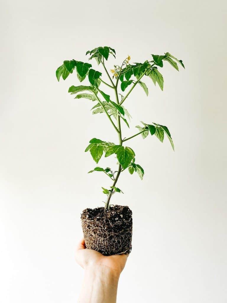 Plante nue racine