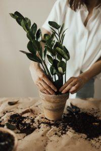 Tasser terreau plante d'intérieur