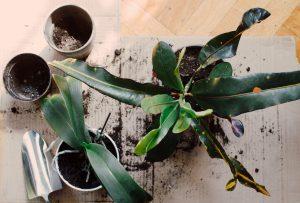 Rempotage plante d'intérieur