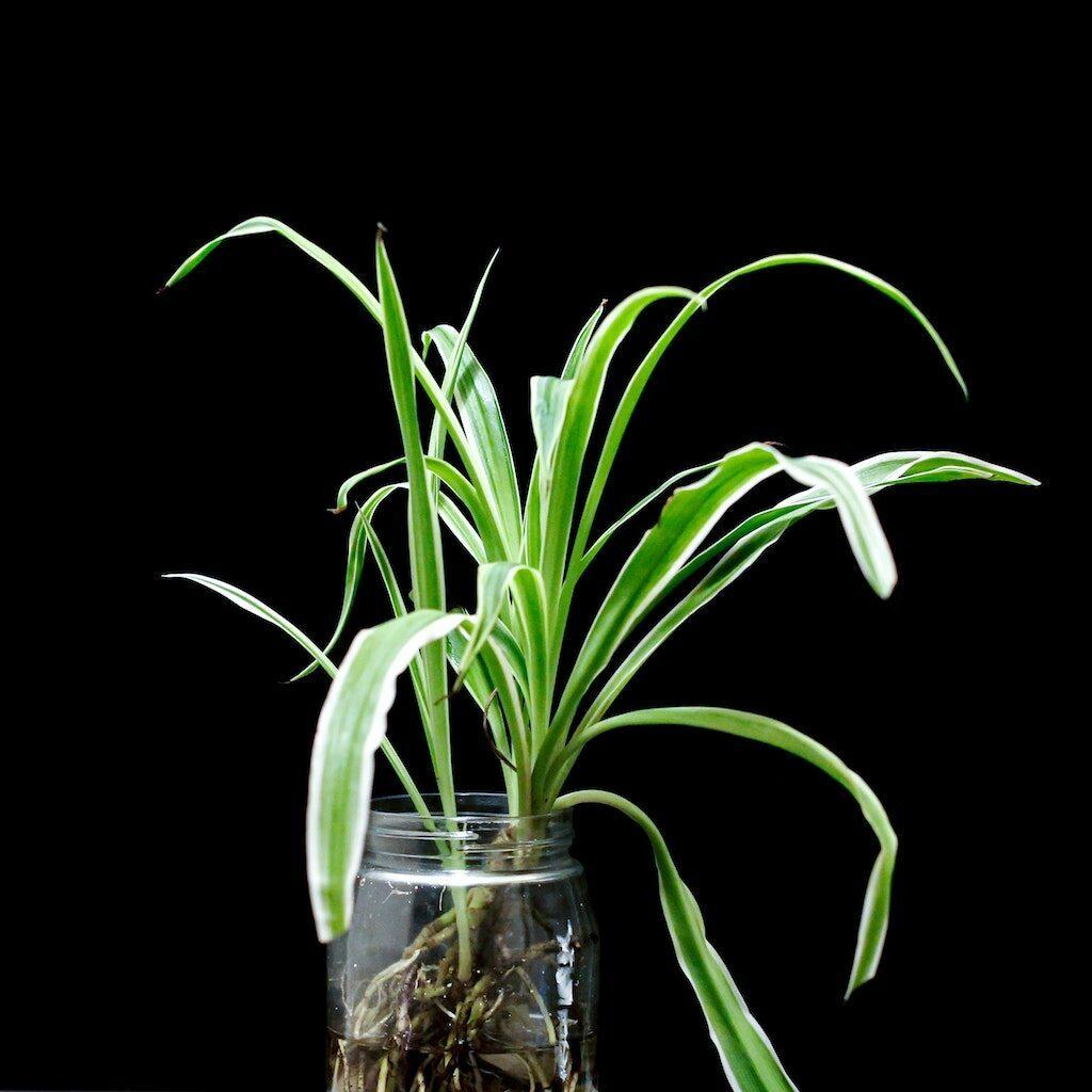 baby plante araignée