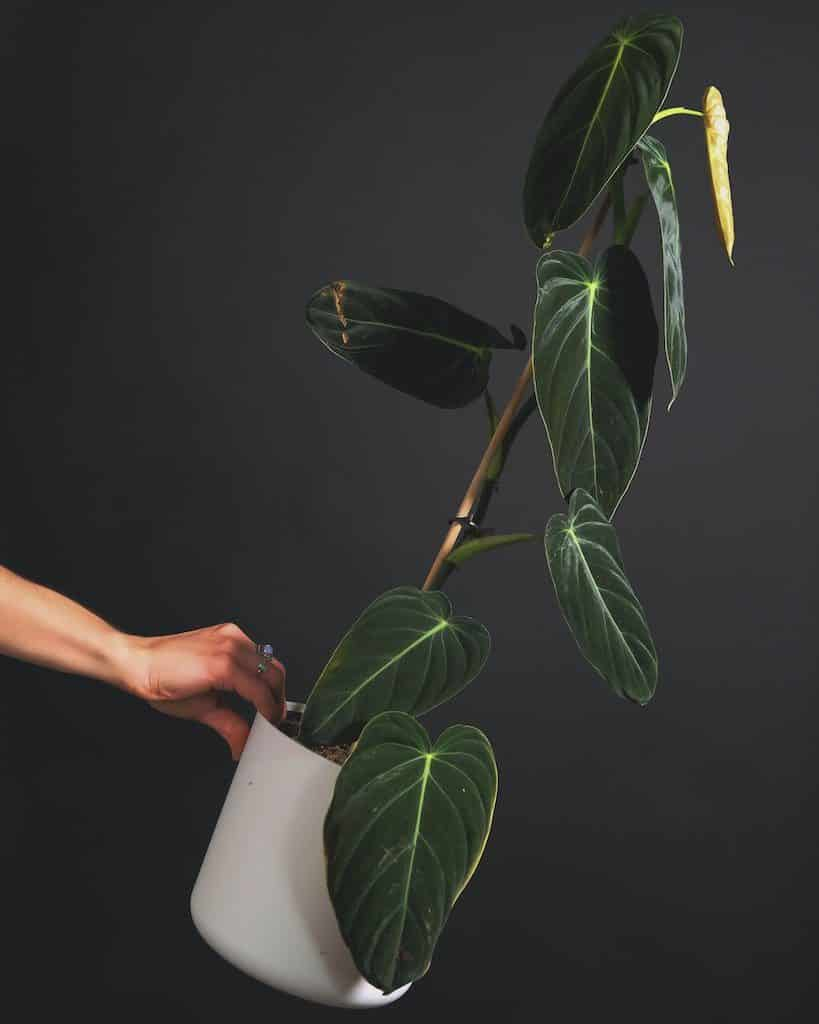 philodendron alimentation