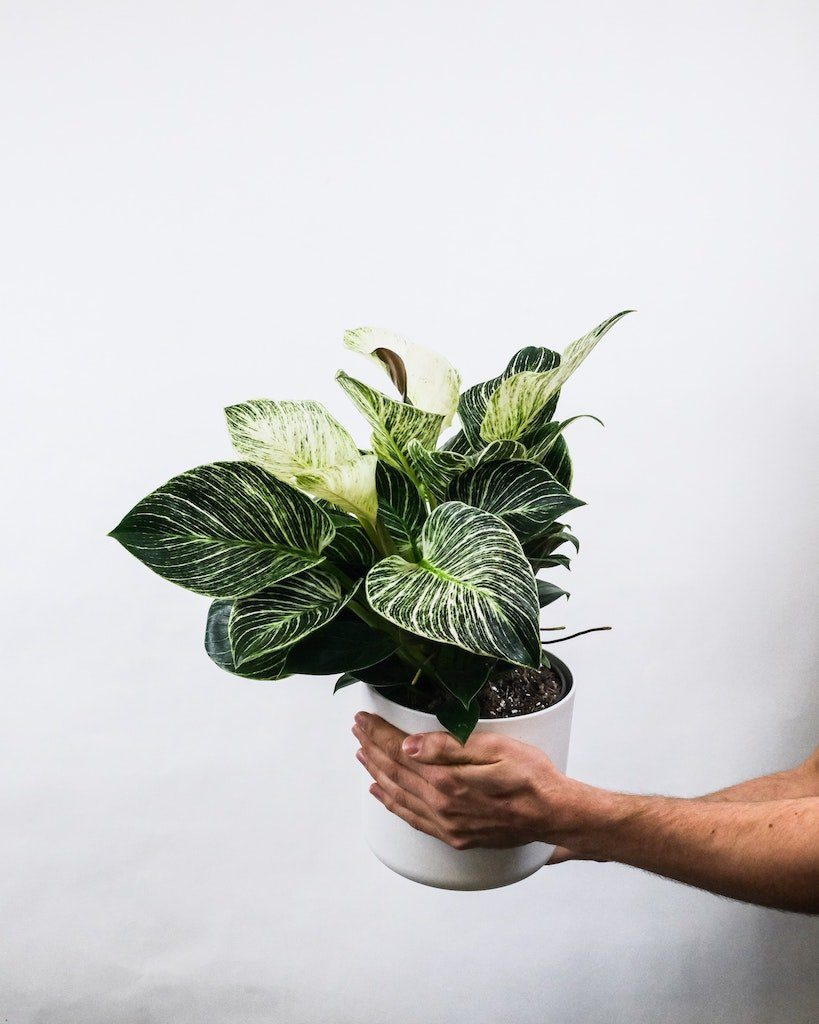 philodendron maladie