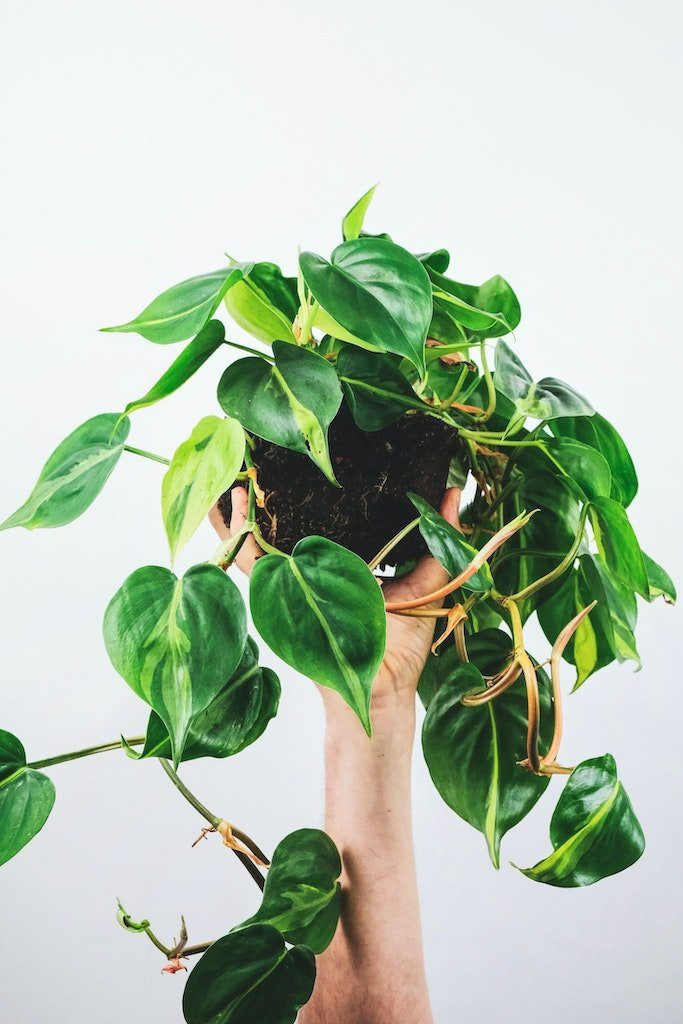 philodendron rempoter