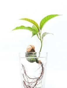 Mangue hydroponie
