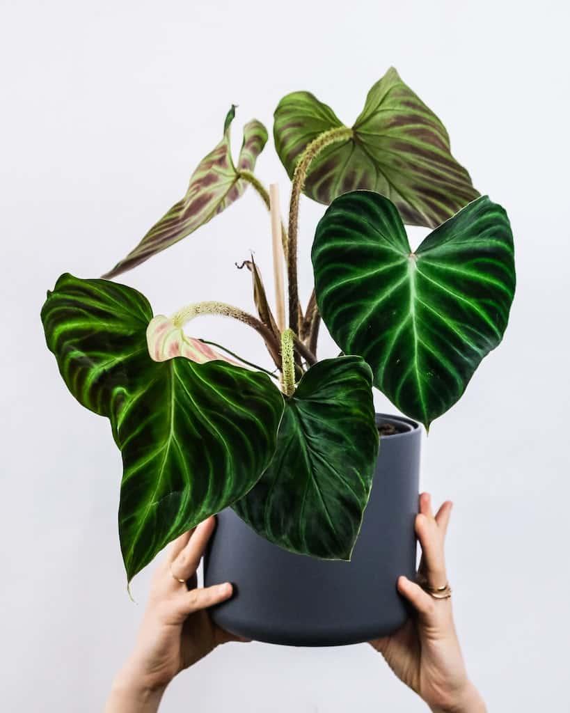 Philodendron verrucosum déco