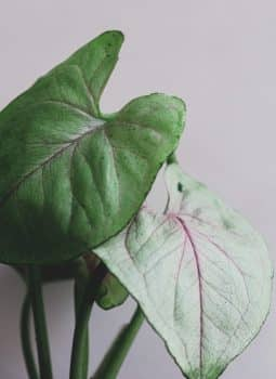 Syngonium-podophyllum