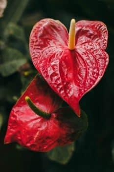 lys flamant rose