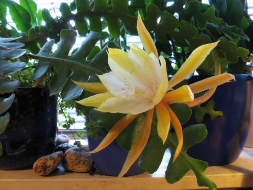 Anguliger epiphyllum fleur