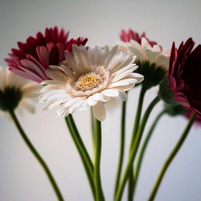 gerbera barberton daisy