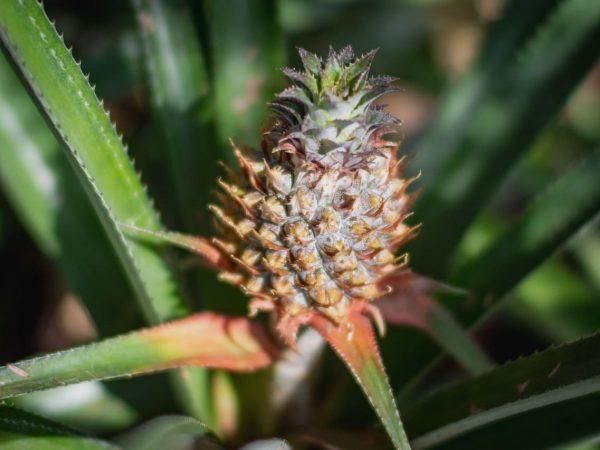 plante ananas