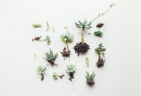 plante succulente entretien