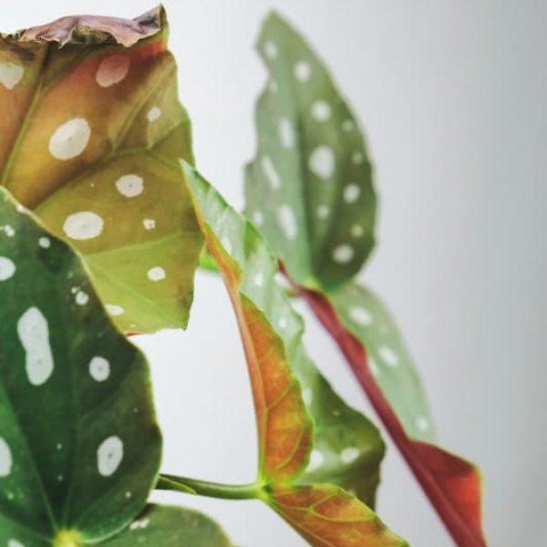 Polka dot plante