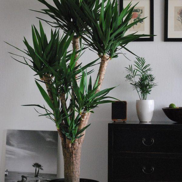 Yucca-elephentipes